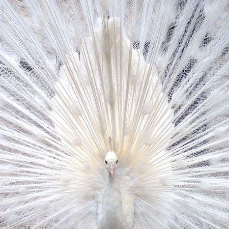 peacock wheel: Pavone bianco da visualizzare per la ruota