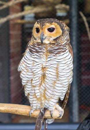 pecker: Owl Stock Photo