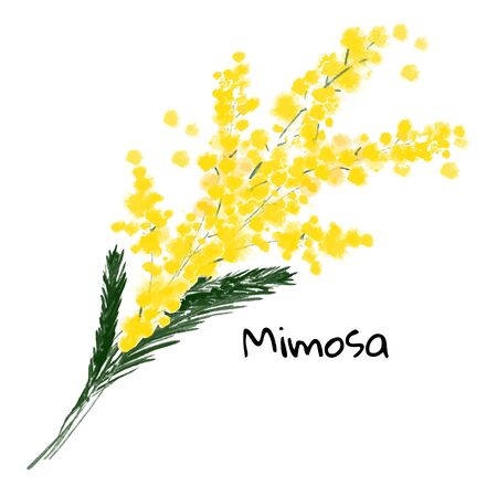Illustration a spring mimosa flower on the white background