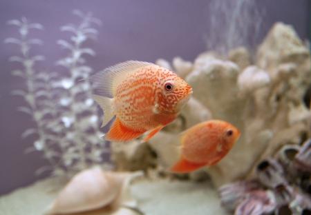 cichlasoma: Cichlasoma severum Gold in aquarium Stock Photo