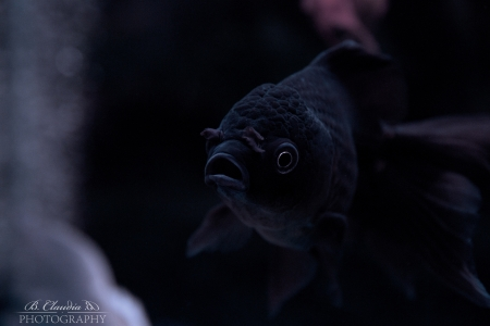 Black Oranda Goldfish (Carassius auratus) on black background in aquarium Stock Photo - 17062822