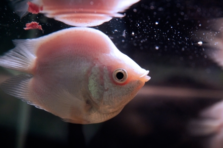 gourami: Kissing gourami Helostoma temminckii fish in aquarium Stock Photo