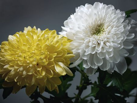 White and yellow chrysanthemums