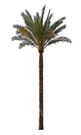 on palm tree: Palm tree isolated on white background