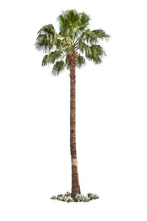 Palm tree isolated on white background