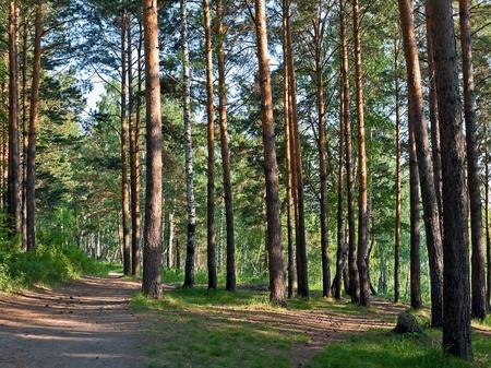 Pine forest Stockfoto