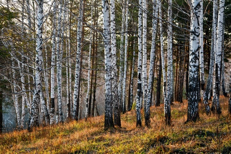 birch forest: Evening in the autumn forest