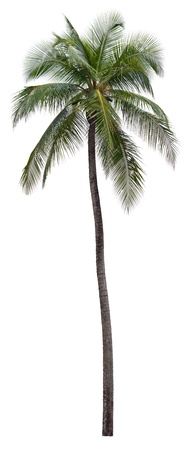 on palm tree: Coconut palm tree isolated on white background Stock Photo