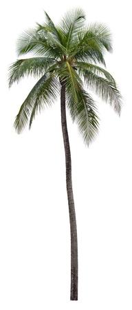 palm frond: Noce di cocco, palma, albero isolato su sfondo bianco