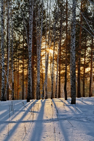 birch: Sunset in winter forest Stock Photo
