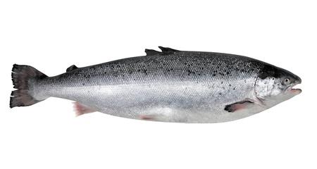 trucha: El salmón fresco Foto de archivo