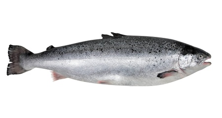 Fresh salmon photo
