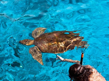 large turtle: Snorkeling Stock Photo