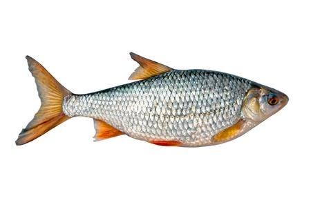 rudd: Fresh fish Stock Photo