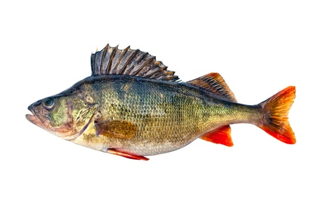 Freshwater perch Stock Photo - 13783635