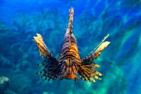 Lionfish Stock Photo - 13783618
