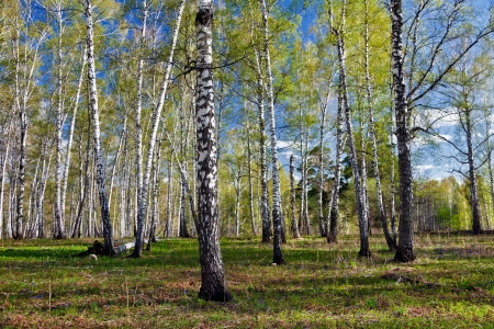 birch forest: The first leaves after a long winter
