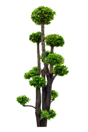 A beautiful tree trimmed isolated on white background Stockfoto