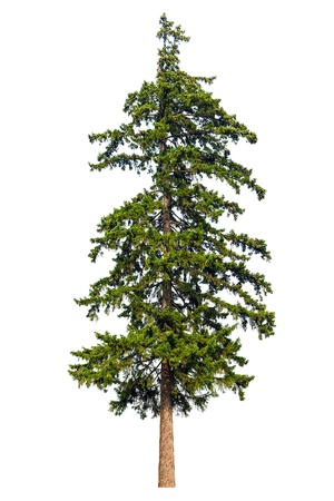 arbol de pino: Árbol abeto aislado sobre fondo blanco