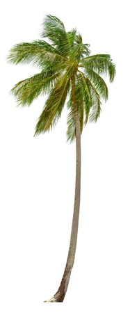tree vertical: Coconut palm tree isolated on white background.  XXL size.