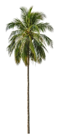 tropical evergreen forest: Coconut palm tree isolated on white background.  XXL size.