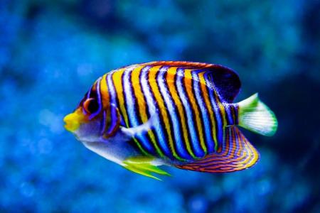 Angel fish   Pygoplites diacanthus  Stockfoto