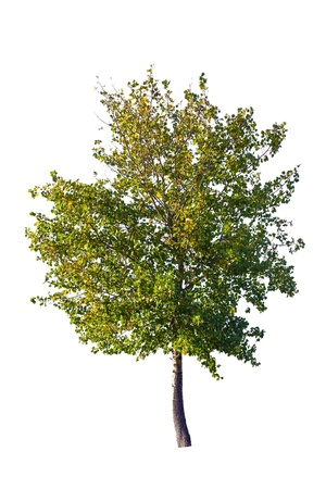 aspen tree: Tree isolated on a white background