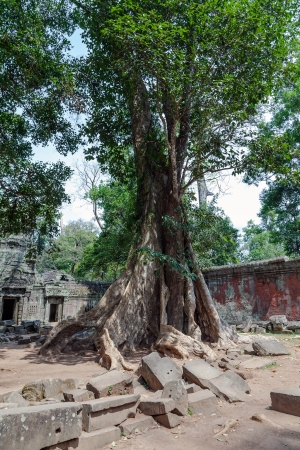 murals: huge trees in Ta Prohm temple in Cambodia Stock Photo