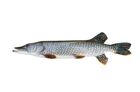 Freshwater pike closeup on white background photo