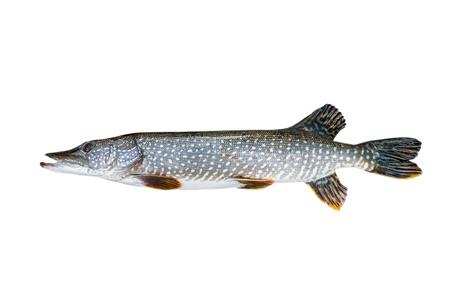 Freshwater pike closeup on white background Stock Photo