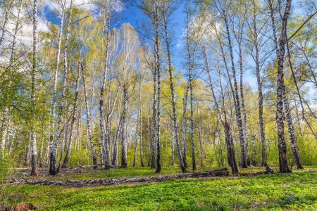 birch forest: Beautiful spring landscape with Siberian nature
