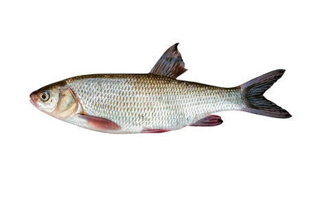 ide: Freshwater fish ide on a white background