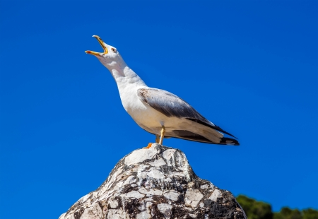 squawk: Screaming seagull on a background of blue sky close-up