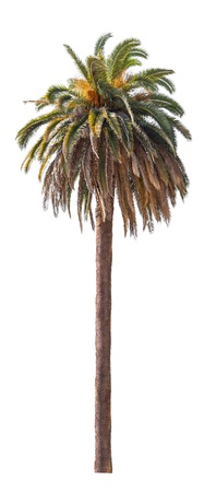 Palm tree isolated on white background  Фото со стока