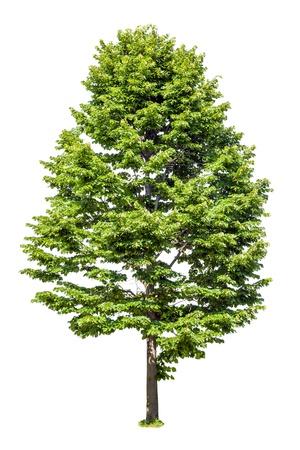 foliar: Deciduous tree linden isolated on white background Stock Photo