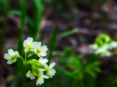 humilde: Flores campanillas Foto de archivo