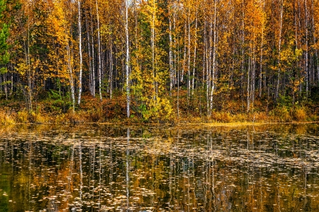 birch forest: Beautiful autumn landscape Stock Photo
