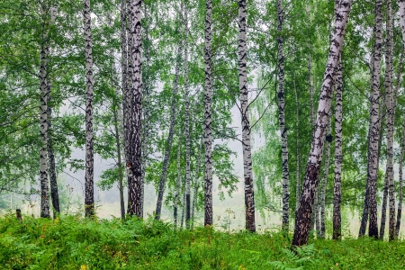 Fog in a birch grove photo