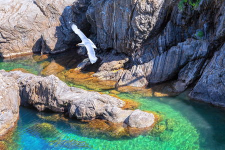 Seagull and coastal cliffs near Manarola  Cinque Terre, Italy  photo