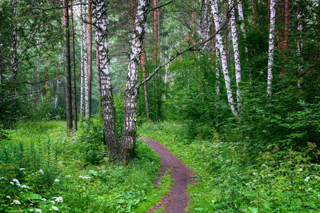 birch forest: Beautiful Siberian forest