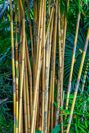 thickets: Thickets of bamboo