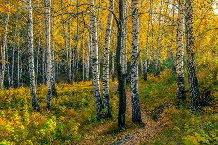 Autumn evening in the birch forest