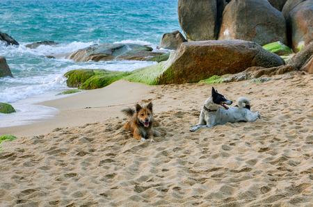 'koh samui': Two dogs on Lamai beach on Koh Samui in Thailand.