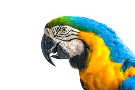 ?ra parrot on a white background. Stock Photo