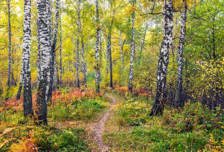 Autumn in the birch forest.