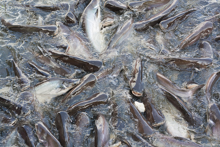 shark catfish: Iridescent shark or Catfish in the river snatch to feed.