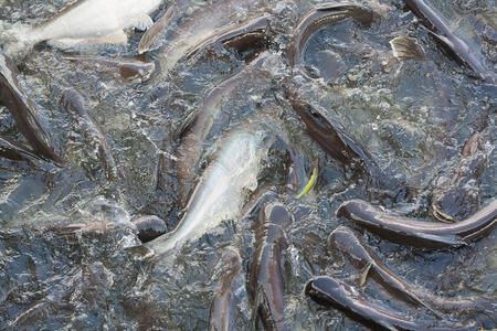 snatch: Iridescent shark or Catfish in the river snatch to feed.