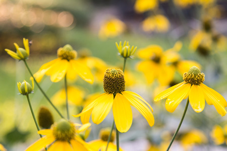 coneflowers: Yellow coneflowers with bokeh background