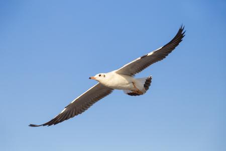 monogamous: Seagull under blue sky background