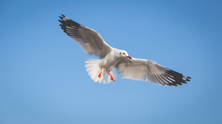 Seagull trying to landing with blue sky background